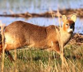 A Closeup Look At The Chinese Water Deer Photo By: Nick Goodrum Https://creativecommons.org/licenses/by/2.0/