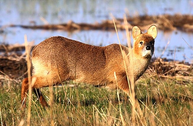 A closeup look at the Chinese Water Deer Photo by: nick goodrum //creativecommons.org/licenses/by/2.0/