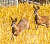 Korean Water Deer Bounding Through The Ricephoto By: Mike Frielhttps://creativecommons.org/licenses/by/2.0/