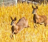 Korean Water Deer Bounding Through The Ricephoto By: Mike Friel//creativecommons.org/licenses/by/2.0/