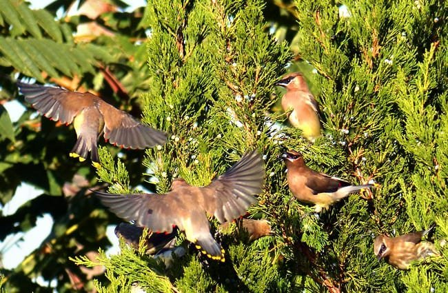 A small flock of Cedar Waxwings