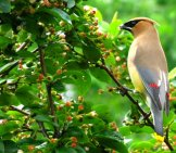 A Beautiful Waxwing In Profile