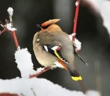 Waxwing Puffed Up For Warmth On A Snowy Day