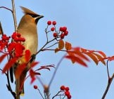 Portrait Of A Beautiful Waxwing