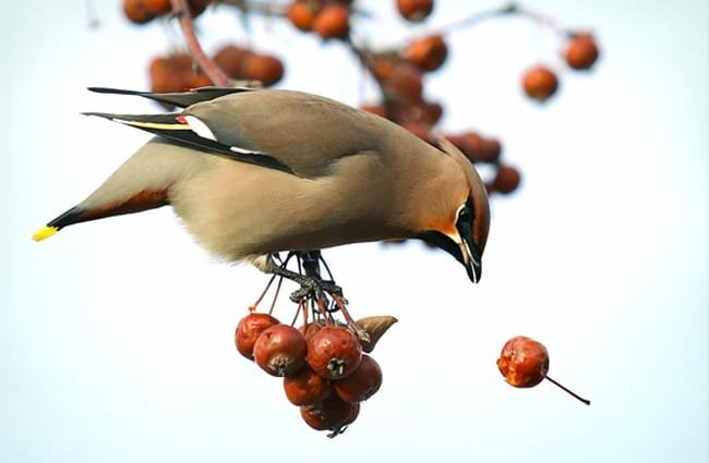 A Waxwing after a falling cherry