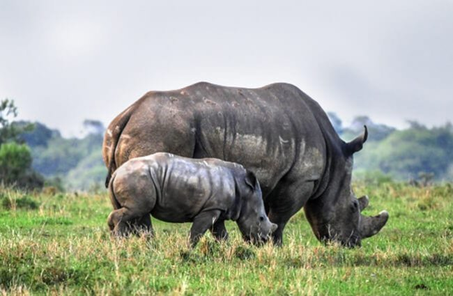Mother White Rhino and her baby grazing. Baby rhino.