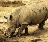 White Rhino Showing Her Mud Coat, Which Protects Her From The Sun And Insects.