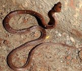 Common Wolf Snake Photo By: Dr. Raju Kasambe Cc By-Sa 4.0 //creativecommons.org/licenses/by-Sa/4.0