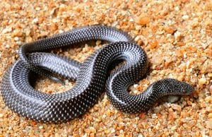 Barred wolf snake from IndiaPhoto by: Davidvraju CC BY-SA 4.0 https://creativecommons.org/licenses/by-sa/4.0