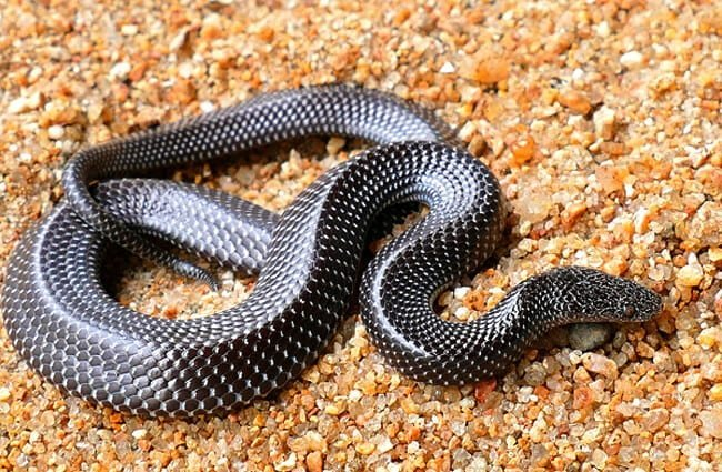Barred wolf snake from IndiaPhoto by: Davidvraju CC BY-SA 4.0 //creativecommons.org/licenses/by-sa/4.0
