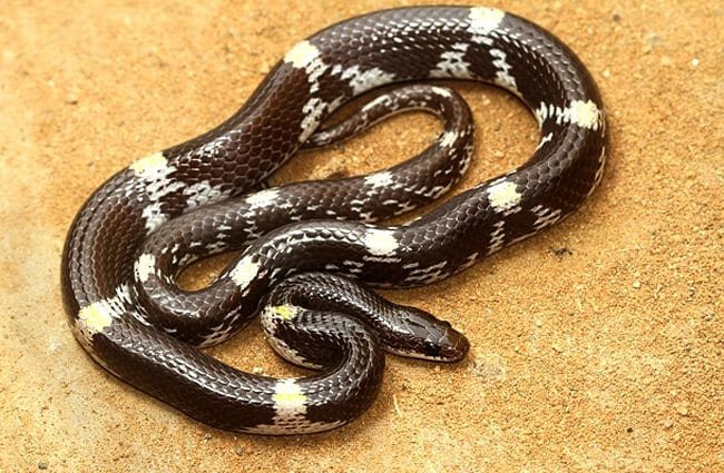 Barred Wolf Snake Photo by: Davidvraju CC BY-SA 4.0 //creativecommons.org/licenses/by-sa/4.0