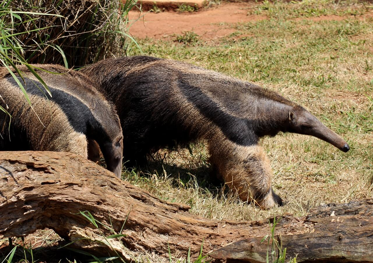 //pixabay.com/photos/flag-anteater-animal-wild-brazilian-1200155/