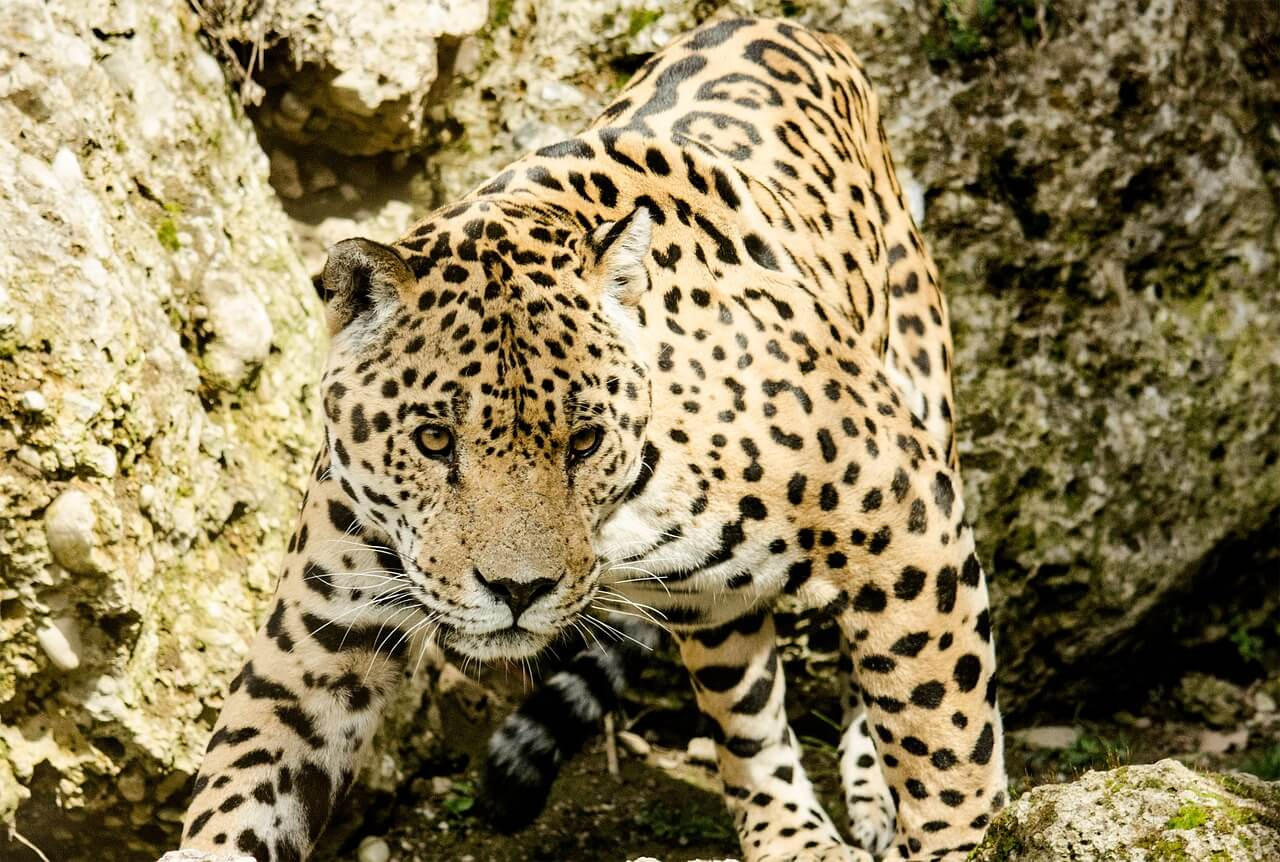 //pixabay.com/photos/jaguar-big-cat-wildcat-zoo-1337201/