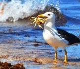 Albatross With His Prize Catch - A Crab!