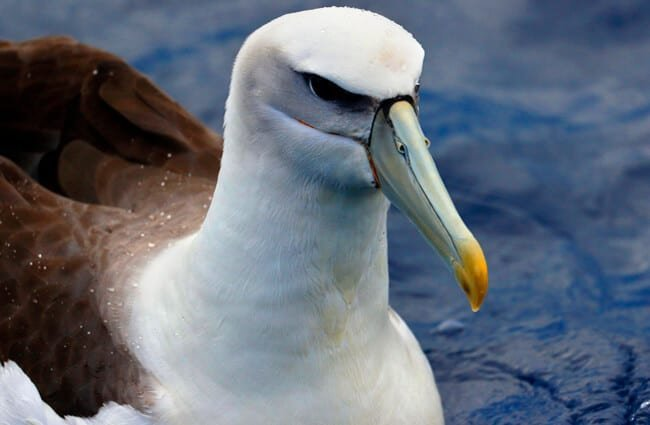 Closeup portrait of an Albatross Photo by: Ed Dunens https://creativecommons.org/licenses/by/2.0/