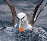 Albatross Fishing Photo By: Ed Dunens Https://creativecommons.org/licenses/by/2.0/
