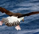 Albatross In Flight Photo By: Ed Dunens Https://creativecommons.org/licenses/by/2.0/