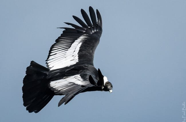 Andean Condor soaring through the blue sky Photo by: Paul Balfe //creativecommons.org/licenses/by/2.0/