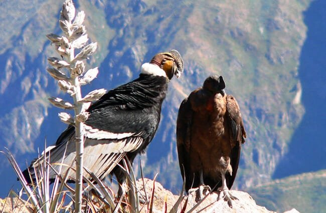 A pair of Andean Condors Photo by: tjabeljan //creativecommons.org/licenses/by/2.0/