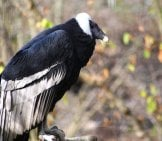 Andean Condor On A Branch Photo By: Jean //creativecommons.org/licenses/by/2.0/
