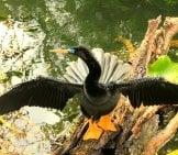 Showoff Anhinga!photo By: Yinan Chen (Public Domain)//pixabay.com/photos/anhinga-Bird-Fly-Wings-Feather-347241/