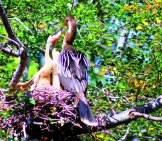 Female Anhinga Feeding Her Chicks Photo By: Cuatrok77 //creativecommons.org/licenses/by-Sa/2.0/