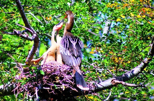 Female Anhinga feeding her chicks Photo by: cuatrok77 https://creativecommons.org/licenses/by-sa/2.0/