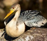 Anhinga Photographed At Everglades National Parkphoto By: Gerry Zambonini//creativecommons.org/licenses/by-Sa/2.0/