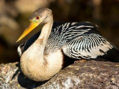 Anhinga photographed at Everglades National ParkPhoto by: Gerry Zamboninihttps://creativecommons.org/licenses/by-sa/2.0/