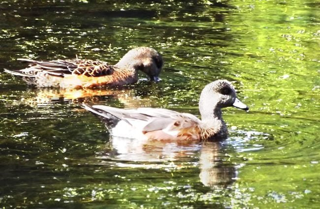 Male and female Baldpates in a lake Photo by: Michael Mulqueen https://creativecommons.org/licenses/by/2.0/