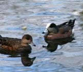 A Pair Of Baldpates (Wigeons) At Forest Grove, Or Photo By: Tom Brandt //creativecommons.org/licenses/by/2.0/