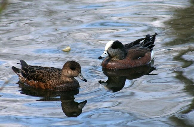 A pair of Baldpates (Wigeons) at Forest Grove, OR Photo by: Tom Brandt https://creativecommons.org/licenses/by/2.0/