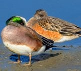 Mated Pair Of American Wigeons Photo By: Marshal Hedin Https://creativecommons.org/licenses/by/2.0/
