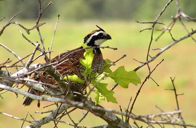 Bobwhite Quail - Georgia's official State Gamebird Photo by: U.S. Fish and Wildlife Service Headquarters https://creativecommons.org/licenses/by/2.0/