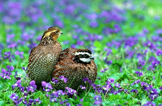 Northern Bobwhite Quail Photo by: U.S. Fish and Wildlife Service Headquarters https://creativecommons.org/licenses/by/2.0/