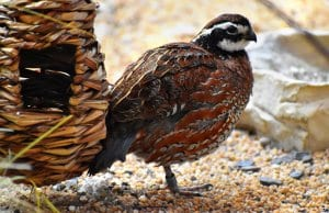 Bobwhite Quail posing for a quick picPhoto by: Laura Wolfhttps://creativecommons.org/licenses/by/2.0/