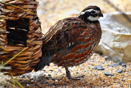 Bobwhite Quail posing for a quick picPhoto by: Laura Wolf//creativecommons.org/licenses/by/2.0/