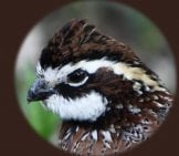 Portrait Of A Bobwhite Quail Released In The Georgia Bobwhite Quail Initiative. Photo By: Les Howard Https://creativecommons.org/licenses/by/2.0/