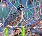 Northern Bobwhite Quail In The Dawn Light Photo By: Jerry Oldenettel Https://creativecommons.org/licenses/by/2.0/