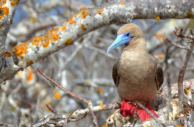 Galapagos Islands Red-Footed Booby Photo by: pen_ash https://pixabay.com/photos/galapagos-islands-red-footed-booby-2380428/