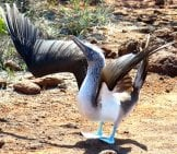 Blue-Footed Booby Performing A Mating Ritual Photo By: Belamarie Https://pixabay.com/photos/bird-Blue-Footed-Booby-718269/