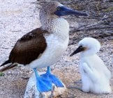 Mother Blue-Footed Booby With Her Chick Photo By: Dan Https://Creativecommons.org/Licenses/By-Sa/2.0/