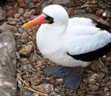 Nazca Booby Photo By: Claumoho Https://Creativecommons.org/Licenses/By-Sa/2.0/