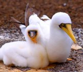 A Mated Pair Of Masked Boobiesphoto By: Drew Averyhttps://Creativecommons.org/Licenses/By-Sa/2.0/