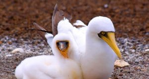 A mated pair of Masked BoobiesPhoto by: Drew Avery//creativecommons.org/licenses/by-sa/2.0/