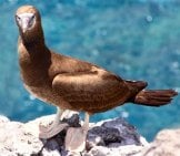 Adult Brown Booby Photo By: Drew Avery Https://Creativecommons.org/Licenses/By-Sa/2.0/