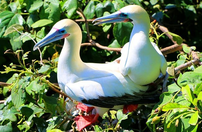 Red-Footed Booby Birds at Blackbird Caye in Belize Photo by: Adam https://creativecommons.org/licenses/by-sa/2.0/