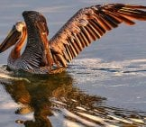 Beautiful Brown Pelican At Sunset Photo By: Susan Frazier Https://pixabay.com/photos/pelican-Brown-Bird-Wildlife-Nature-901006/