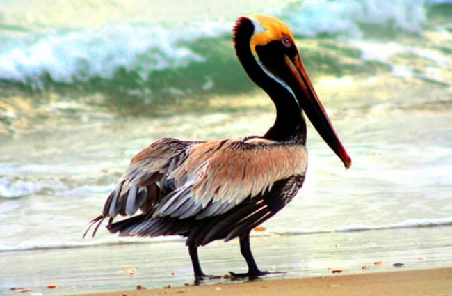 Brown Pelican in profilePhoto by: skeezehttps://pixabay.com/photos/brown-pelican-bird-wildlife-nature-1625029/