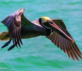 Brown Pelican 3